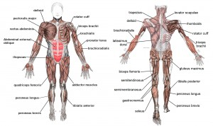(Gray's Anatomy of the Human Body)